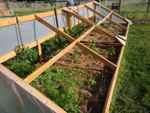 Figure 3. The Cold Frame For Early Start Tomatoes, Peppers, Carrots and Cilantro