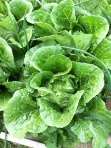 Figure 7b. Lettuce For The Salad Bowl